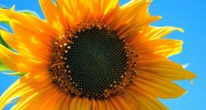 yellow-sunflower-403172_1280