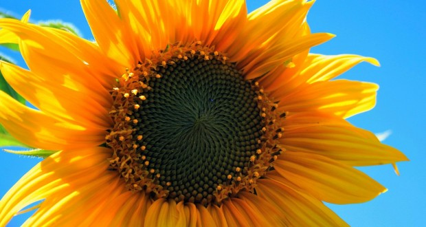 yellow-sunflower-403172_1280